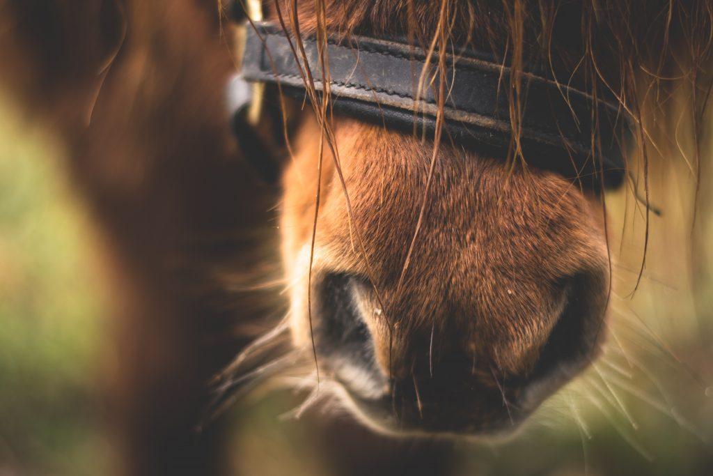 naso cavallo marrone dettaglio