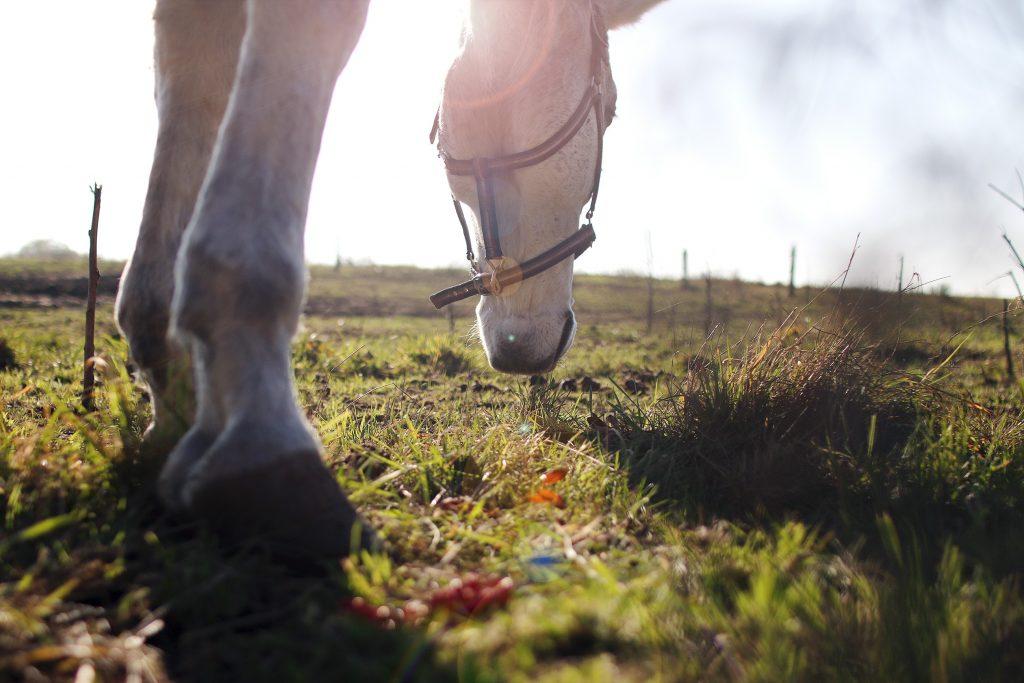 cavallo grigio bruca