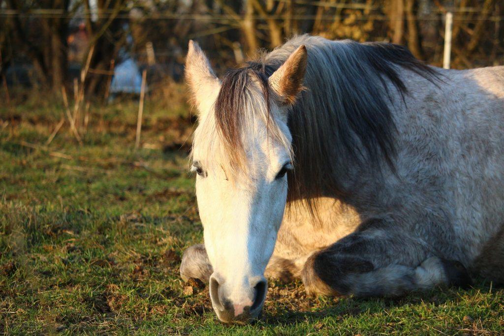 cavallo grigio dorme su prato
