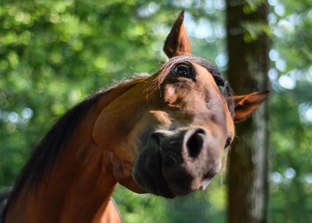 testa cavallo marrone
